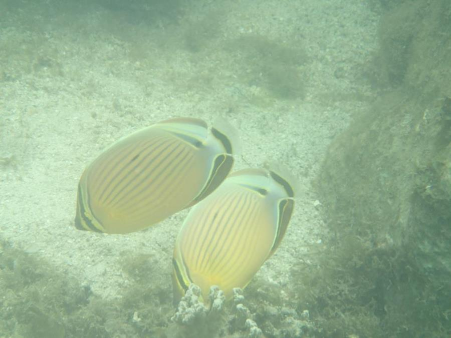 Oval butterflyfish - photo#24