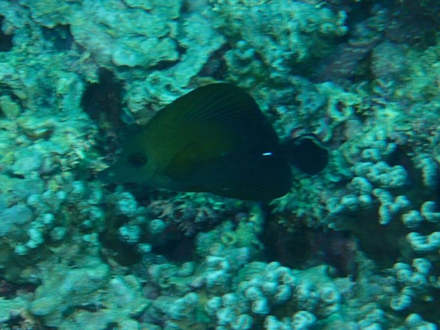 Fish in bora bora society islands french polynesia for Bora bora fish