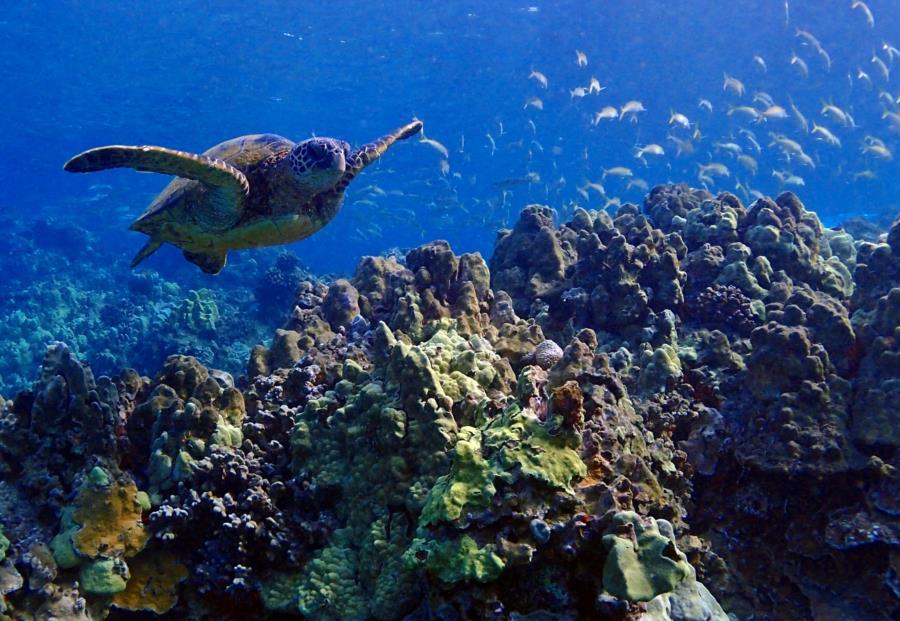 Ulua Turtle