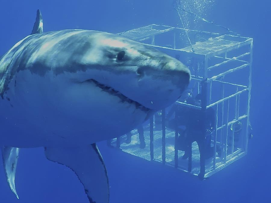 Guadalupe Island Great White