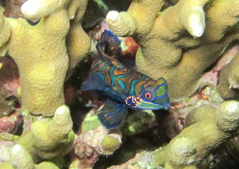 Mandarin fish in Moalboal