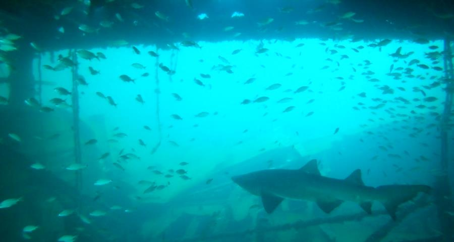 Shark in the Indra