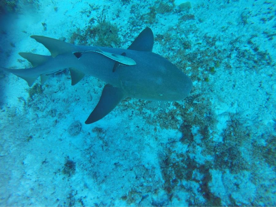 Reef Shark and baby