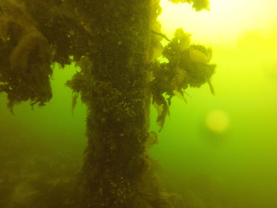 Tube Worms in Smitty's Cove (Whittier, AK 04/09/2017)