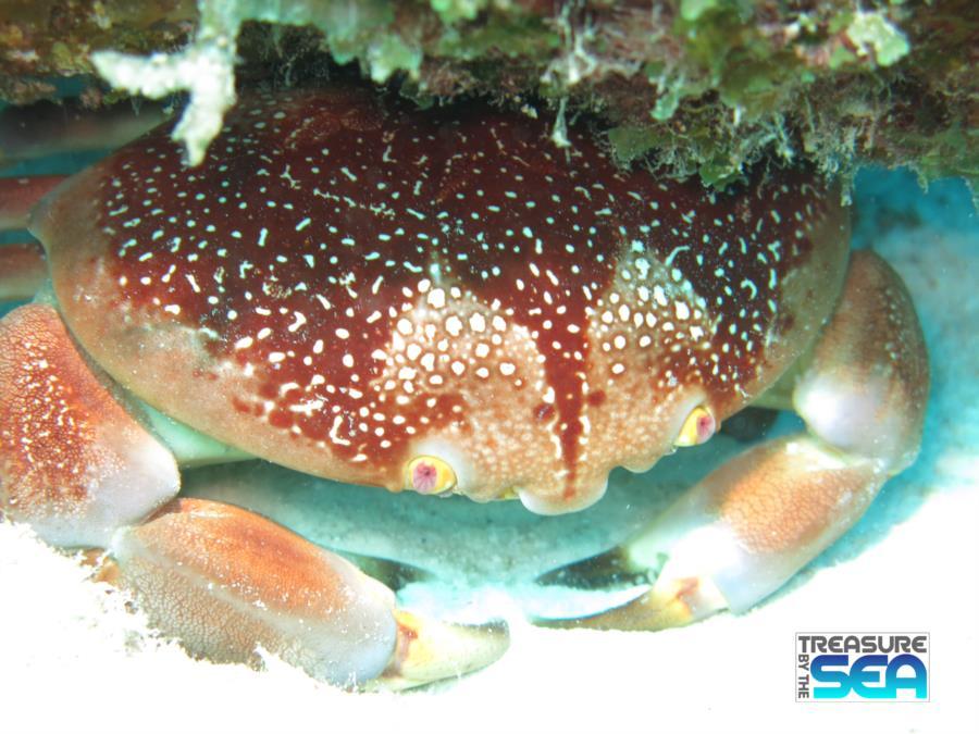 Batwing Coral Crab at Invisibles, Bonaire