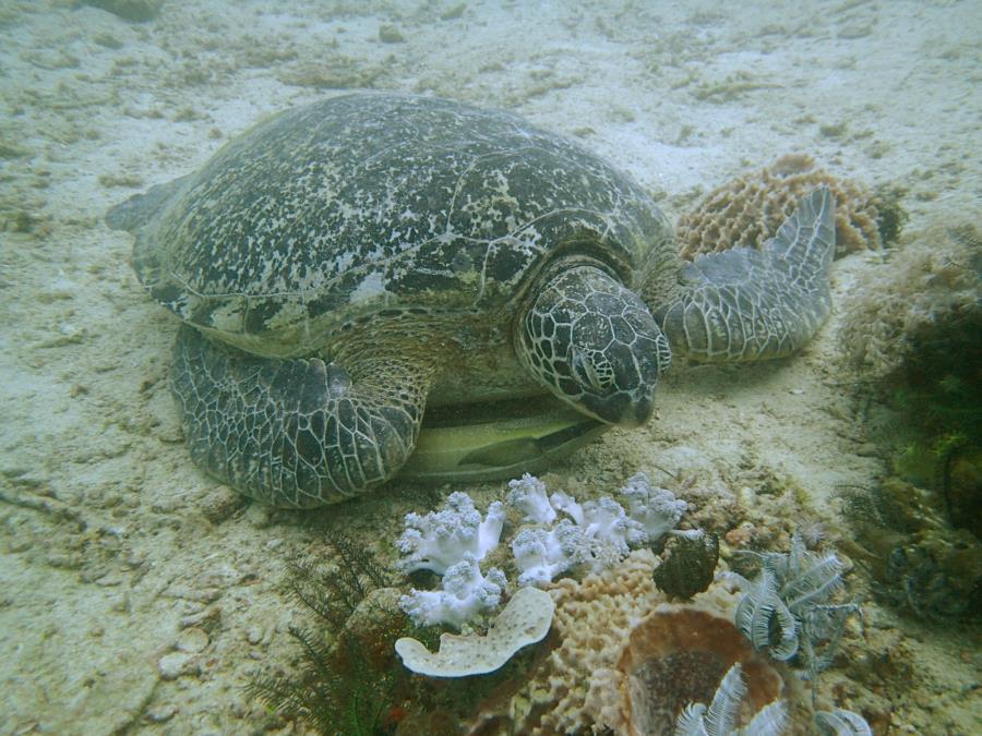 sea turtle in puerto galera