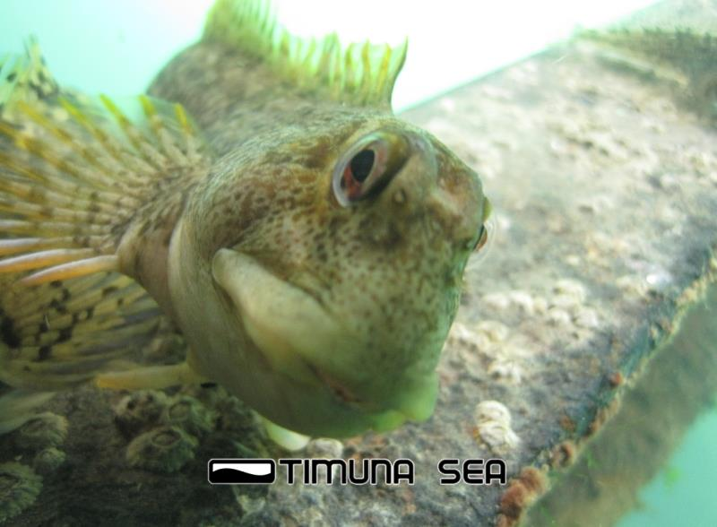 Common Blenny