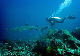 The Sharks of Komodo