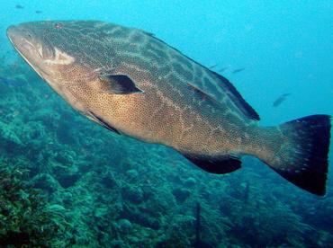Fish Focus - Grouper