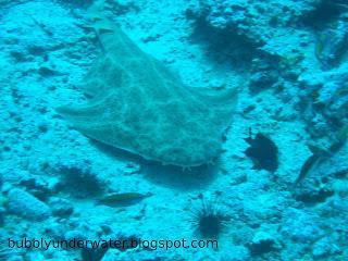 Angel shark (Squatina squatina)