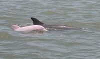 Pink Dolphin?