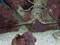 spear fishing / lobster hunting