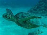 Turtle Canyon Dive Site, Waikiki, Oahu