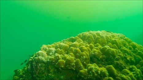 Toxic algae rapidly kills coral