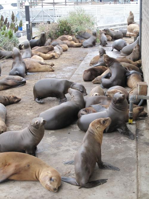 Sea Lion Die-off throughout CA