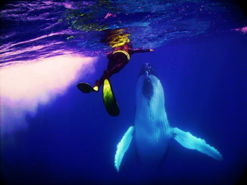 Humpback whales play with divers