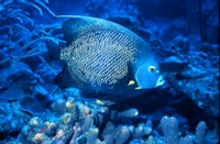 Marine Angel Fish