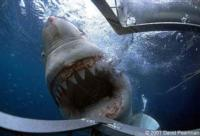 Scuba Divers Escape Great White
