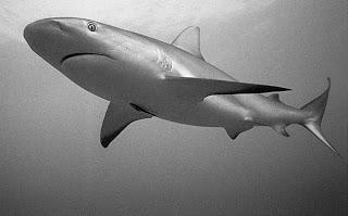 Caribbean reef sharks -
