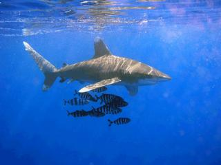 Pacific Shark Populations In Decline: new study provides hard numbers on pelagic species