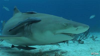 Shark Repellent: a new study indicates visual cues could be a deterrent