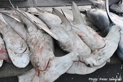 Saving Sharks in Arabia: conference to look at regulating commercial shark fishing