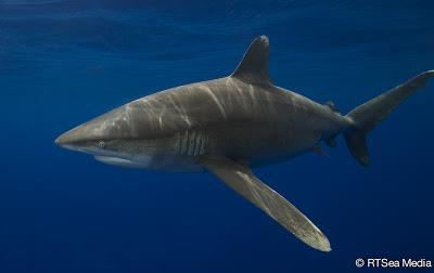 Filmmaker's Journal: Oceanic whitetip sharks