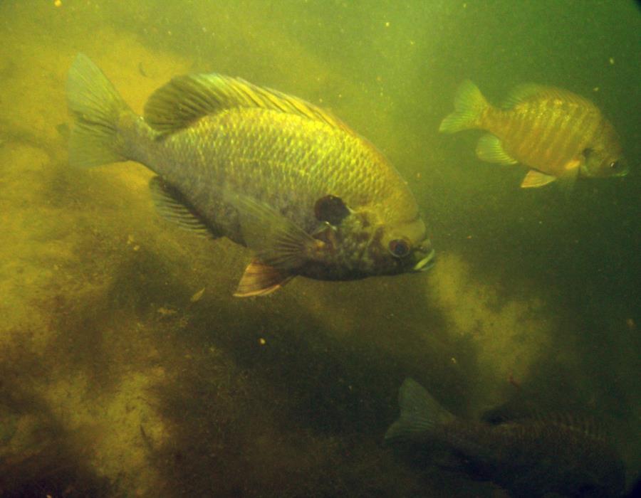 Twin Lakes Scuba Park - Twin Lakes Fish