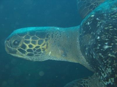 Isla Bartolomé - Pacific Green Sea Turtle
