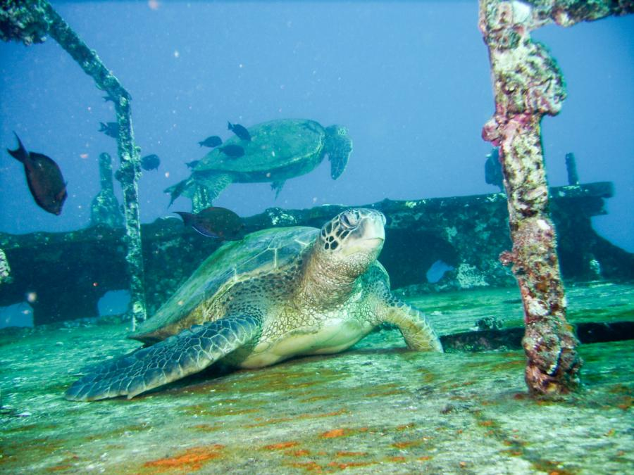 St. Anthony Wreck - Turtle on top of St. Anthony 12/20/2012