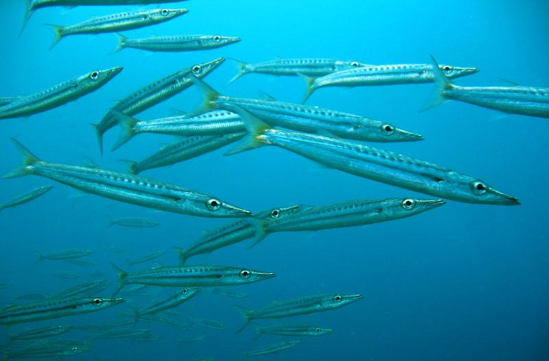 Baby Barracuda Pictures Baby Barracuda