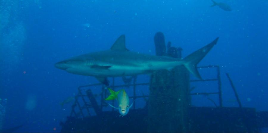 Stuart Coves - Nassau - caribbean reef shark