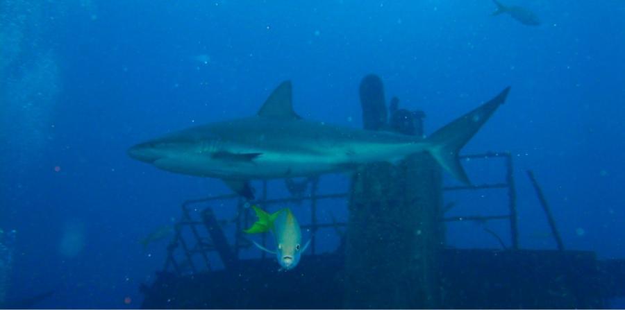 Stuart Cove's - Nassau - caribbean reef shark