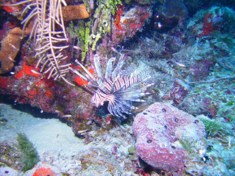 Aquarium West, Providenciales, TCI - Lion Fish