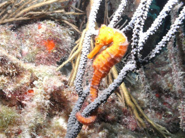 Bonaire - Seahorse