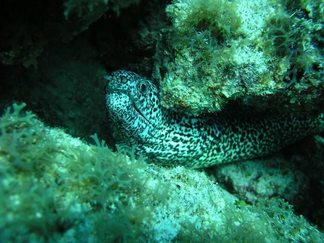Davis Reef aka Davis Ledge - Moray under the ledge