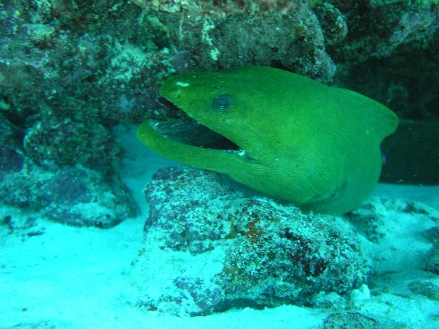 Davis Reef aka Davis Ledge - Green moray under the ledge