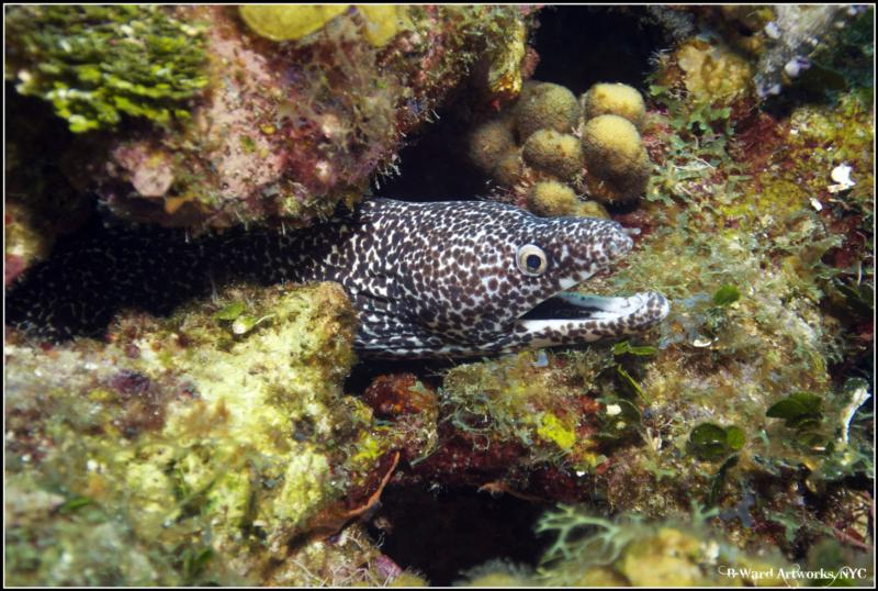 Spotted Morray Eel
