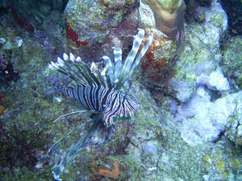 lion fish Aruba