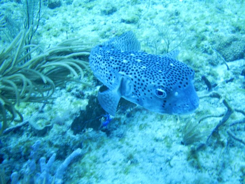 pufferfish/West Palm beach