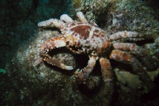 Crab in Cozumel at night