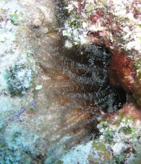 Corkscrew w/ shrimp, Belize