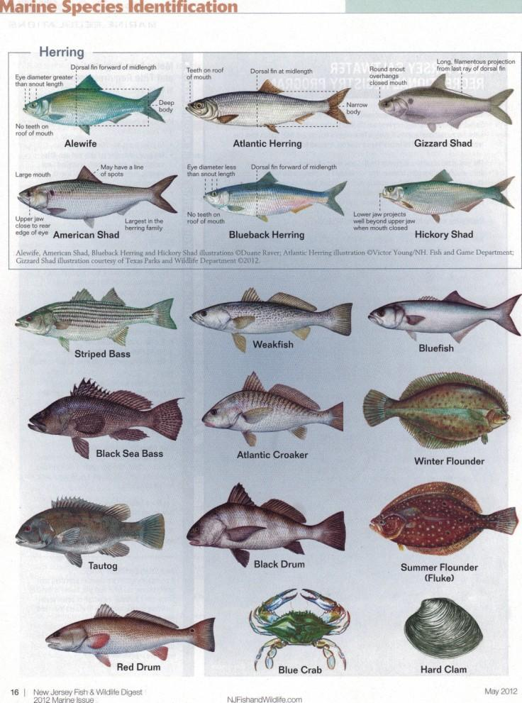 Atlantic saltwater fish chart for Florida freshwater fish species