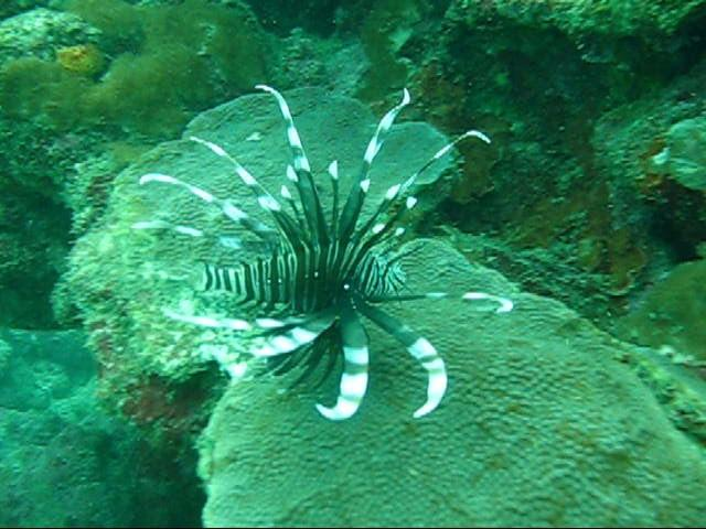lion fish in D.R
