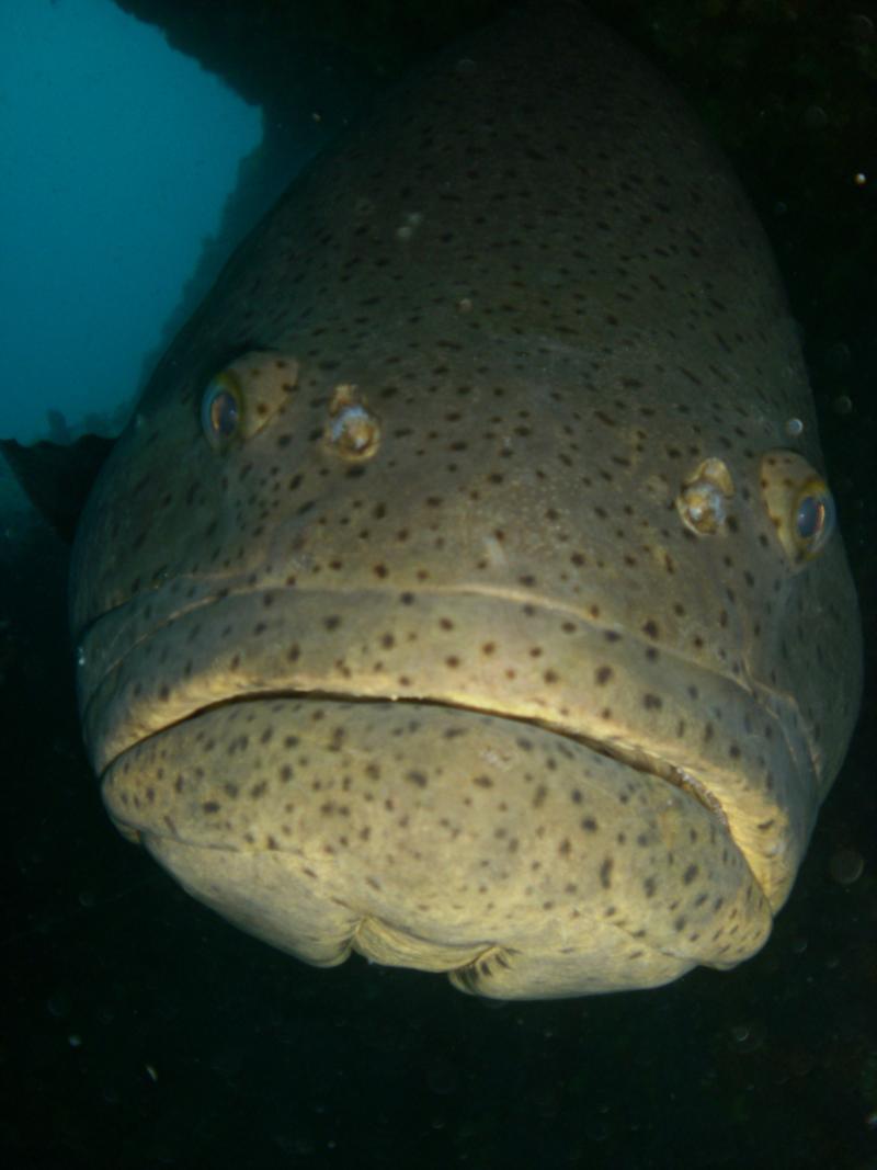 Jew Fish - Goliath Grouper - Boyton Beach