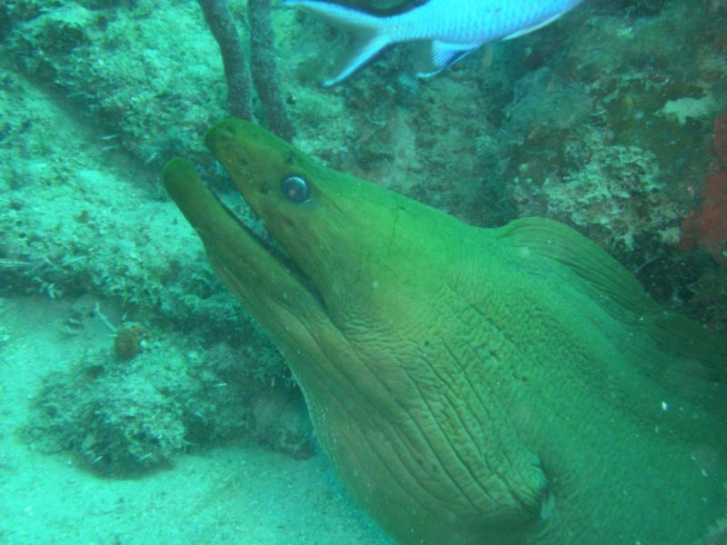 Green moray eel up close
