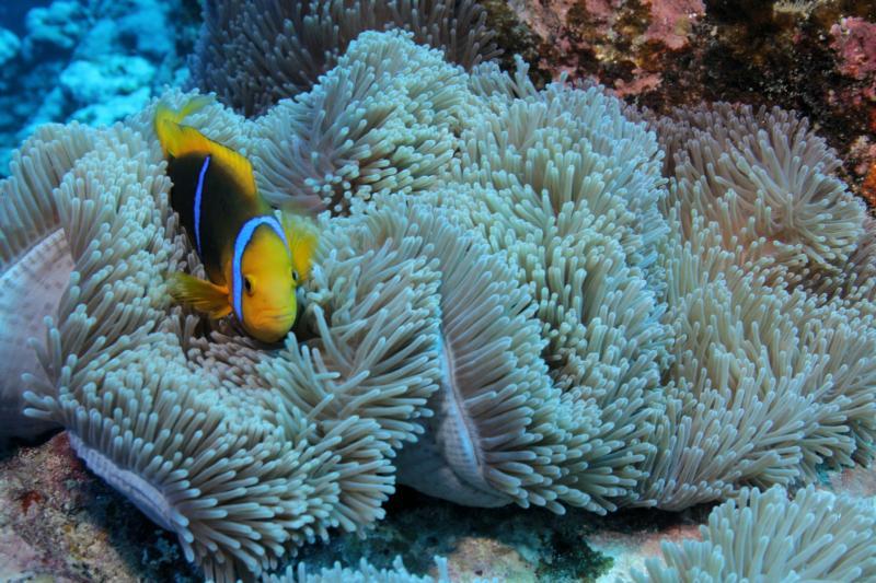 Clownfish off Raiatea