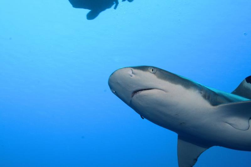 Shark in Raiatea