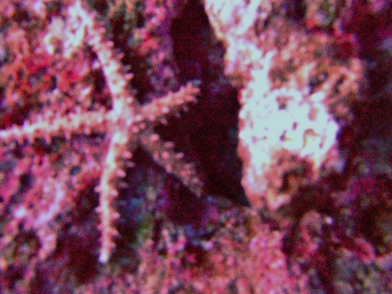 Thorny sea star