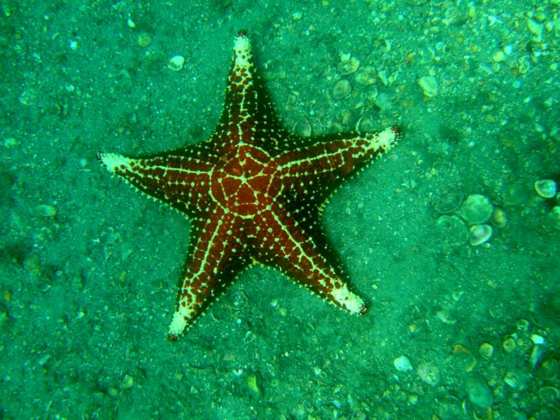 Cushion star-Blue Heron bridge Jupiter